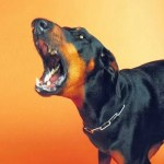 Picture about The Choking Doberman Dog