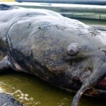Picture Suggesting Alton Resident Caught 736-Pound Catfish in Mississippi River