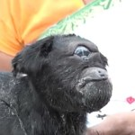 Picture of 'Cyclops' Goat With Only One Eye Born in India