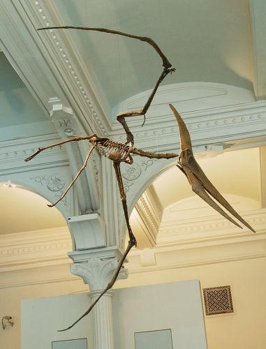 Picture: Mounted composite cast of Pteranodon longiceps at the American Museum of Natural History, New York