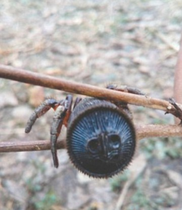 Picture of Strange Rare Spider Discovered by a Stunned Farmer in China