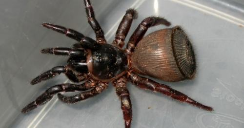 Picture of Chinese Hourglass Spider