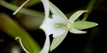 Picture about Rare Omkara Flower Found in Himalayas, Grows Once in 50 Years