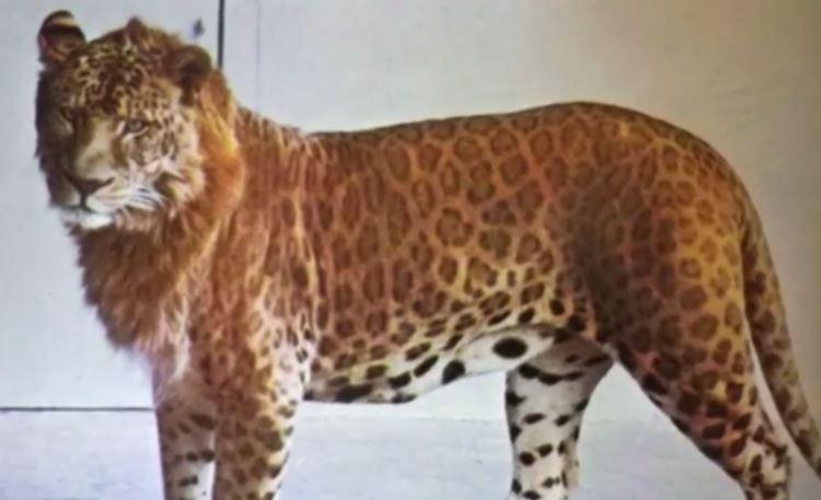 Picture of Lion Leopard Hybrid Animal Leopon