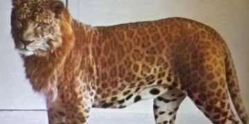 Picture of Lion Leopard Hybrid Animal Leopon