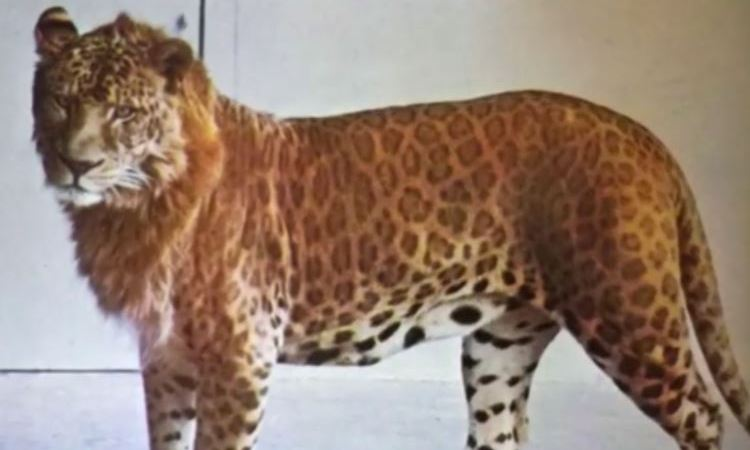 Picture of Lion Leopard Hybrid Animal Leopon: Fact Check