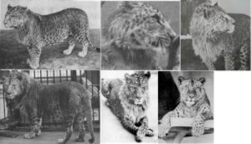 Pictures of Lion Leopard Hybrid Animal Leopon