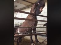 Image: 'Goat Monster' Viral Video Shows Damascus Breed Goat