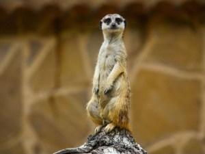 Original picture of Meerkat