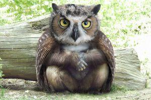 Image about Owlarilla