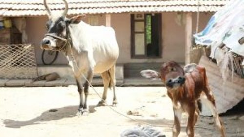 Image of 2 Heads 3 Eyes Mutant Calf Born in India, Survives