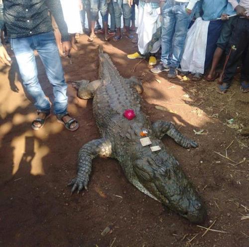 Image of Death of Crocodile Gangaram in Chhattisgarh