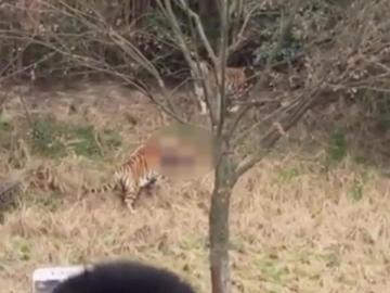 Image about Tiger Attack in Daringbadi Picnic Party
