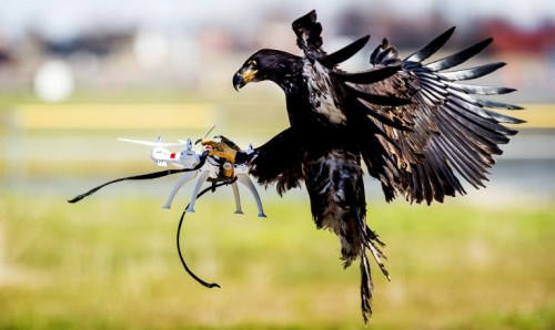 Eagle of Guard from Above Company Catches a Drone in Mid-Air
