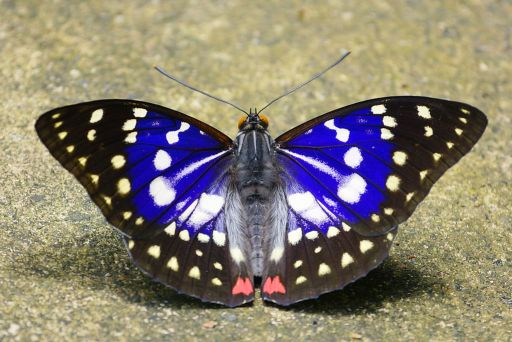 Image of Japanese emperor or great purple emperor (Sasakia charonda)