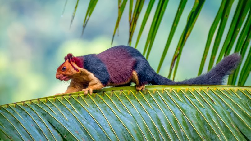 Vidéo - La nature et ses trésors - Page 11 Incredible-Pics-of-Multicoloured-Squirrel-the-Malabar-Giant