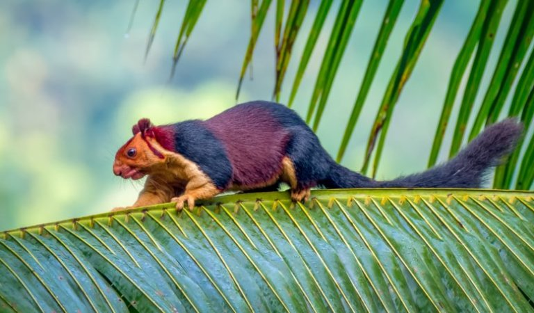 Incredible Pics of Multicoloured Squirrel, the Malabar Giant: Fact Check