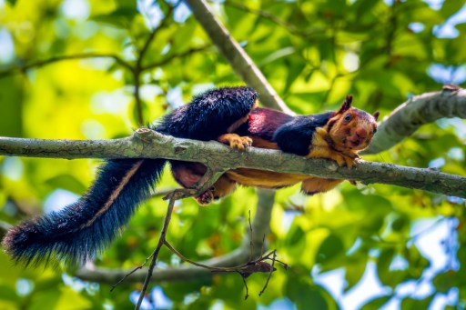 Incredible Pics of Multicoloured Squirrel, the Malabar Giant