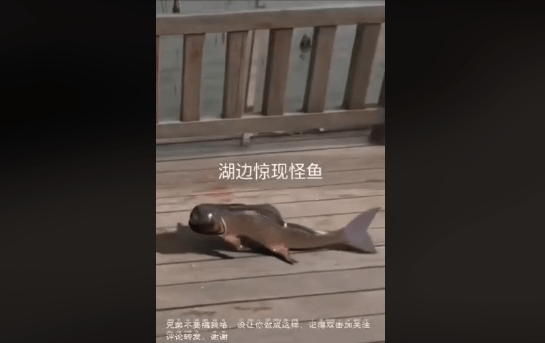 Image about Fish With Human Face Caught in Japan, Video