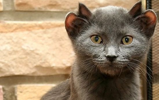 Rare Cat Born With Four Ears: Fact Check