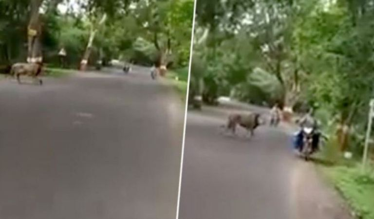 Lion Spotted Roaming Freely on a Mumbai Street, Video: Fact Check