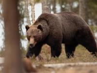 Image about Siberian Bear Attacked Man, Survives in Den After One Month