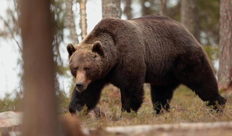 Siberian Bear Attacked Man, Survives in Den After One Month: Fact Check