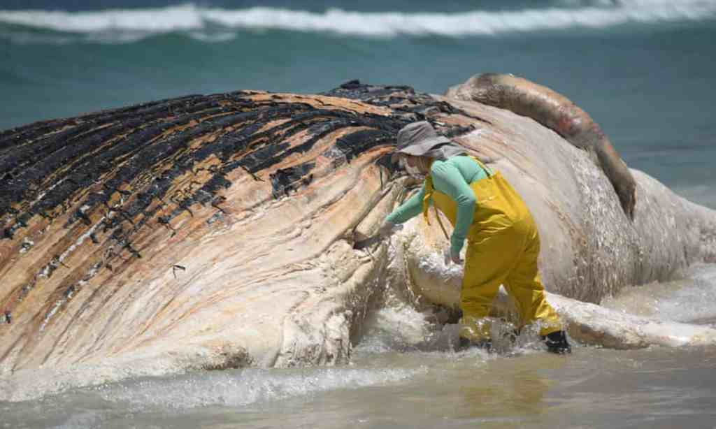 Image of Dead Humpback Whale washed up on the shores of Ipanema beach, Brazil
