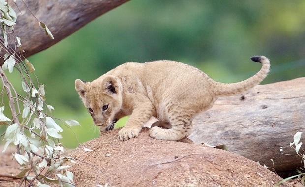 Original Image of Cub