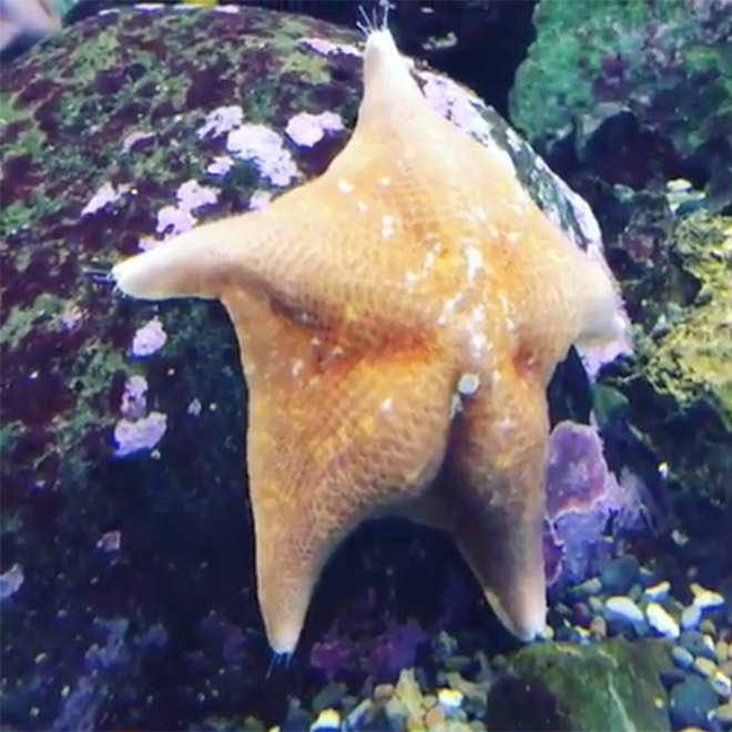 Image of Similar Starfishes with Butt like appearance on rear