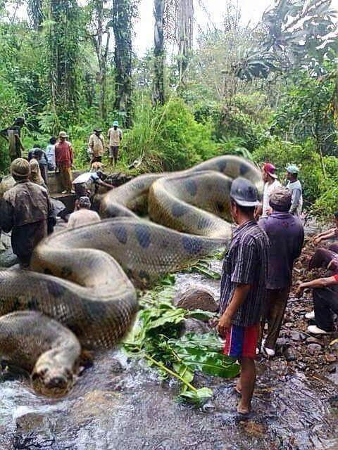 Image about World's Biggest Anaconda in Amazon Killed Humans