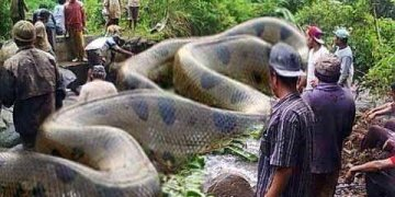 Image about World's Biggest Anaconda in Amazon Killed Humans