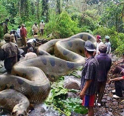 World's Biggest Anaconda in Amazon Killed Humans: Fact Check