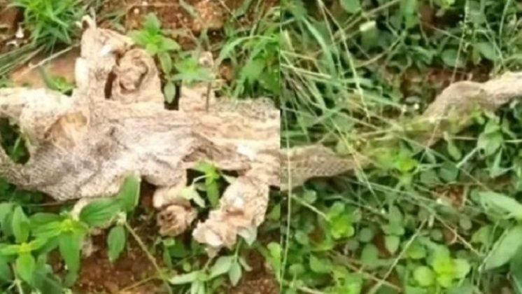 Seven Headed Snake Skin Discovered Near Bangalore: Fact Check
