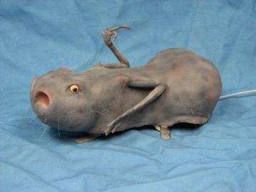Image about Animal Oddity - Deformed Lizard Rat Photograph