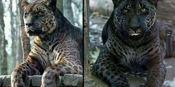 Image of Jaglion, a Rare Cross Between a Jaguar and Lion