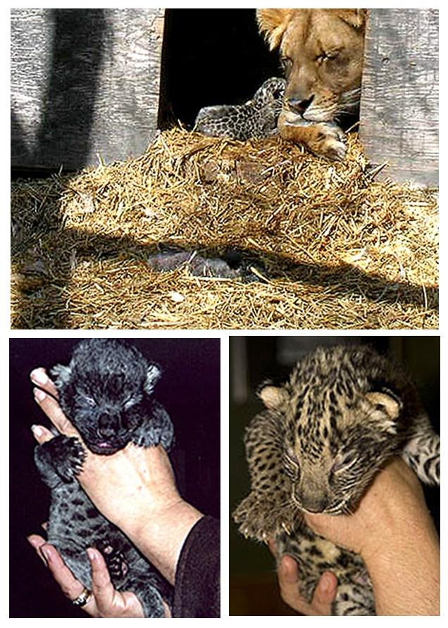 Images of Jaglions, Jahzara and Tsunami born at Bear Creek Wildlife Sanctuary