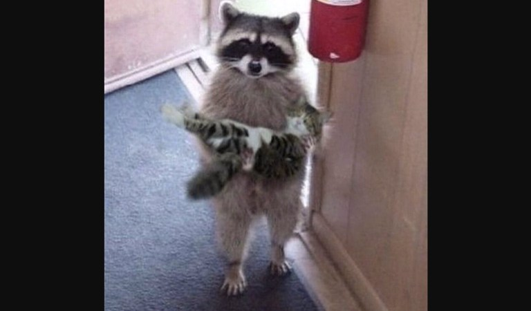 Raccoon Carrying a Cat or Kitten in Its Arms, Photograph: Fact Check