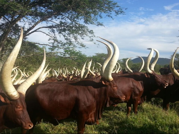 Image of Long-Horned Ankole Cows in Uganda