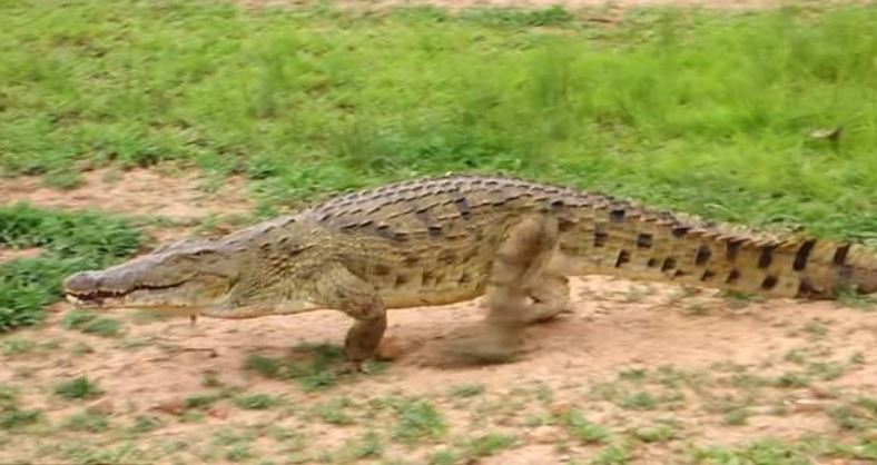Image about Crocodile Set Free a Deer After Finding It's Pregnant