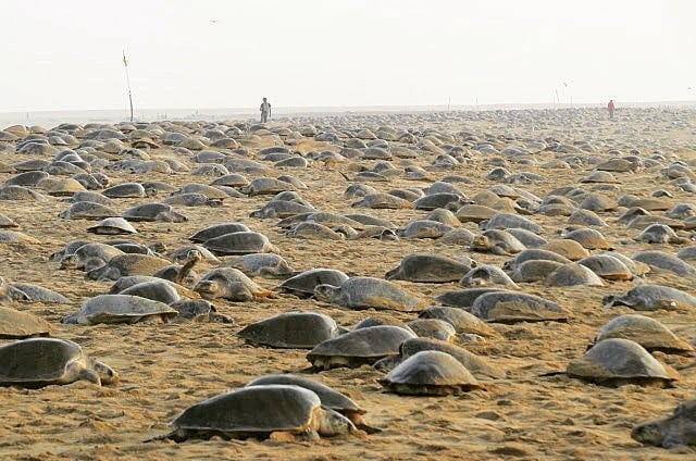 Image about Millions of Sea Turtles Nesting Ashore Amid India Lockdown
