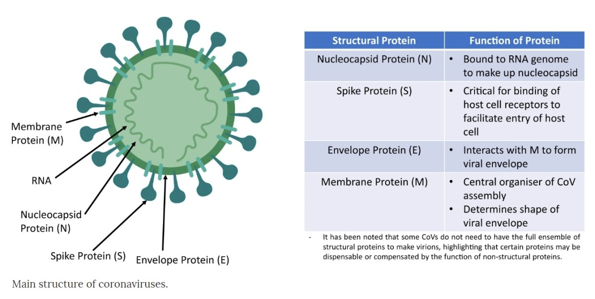 Image of Shape of Coronavirus