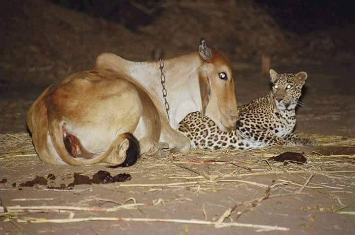 Image of Unusual Leopard and Cow Friendship in Antoli village, Vadodara