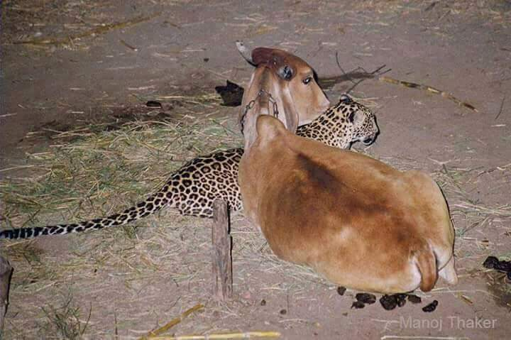 Image of Unusual Leopard and Cow Friendship in Antoli village, Vadodara
