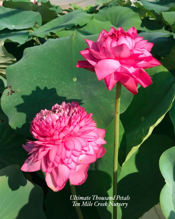 Image of Ultimate 1000 Petal Lotus Flower (Zhizun Qianban)
