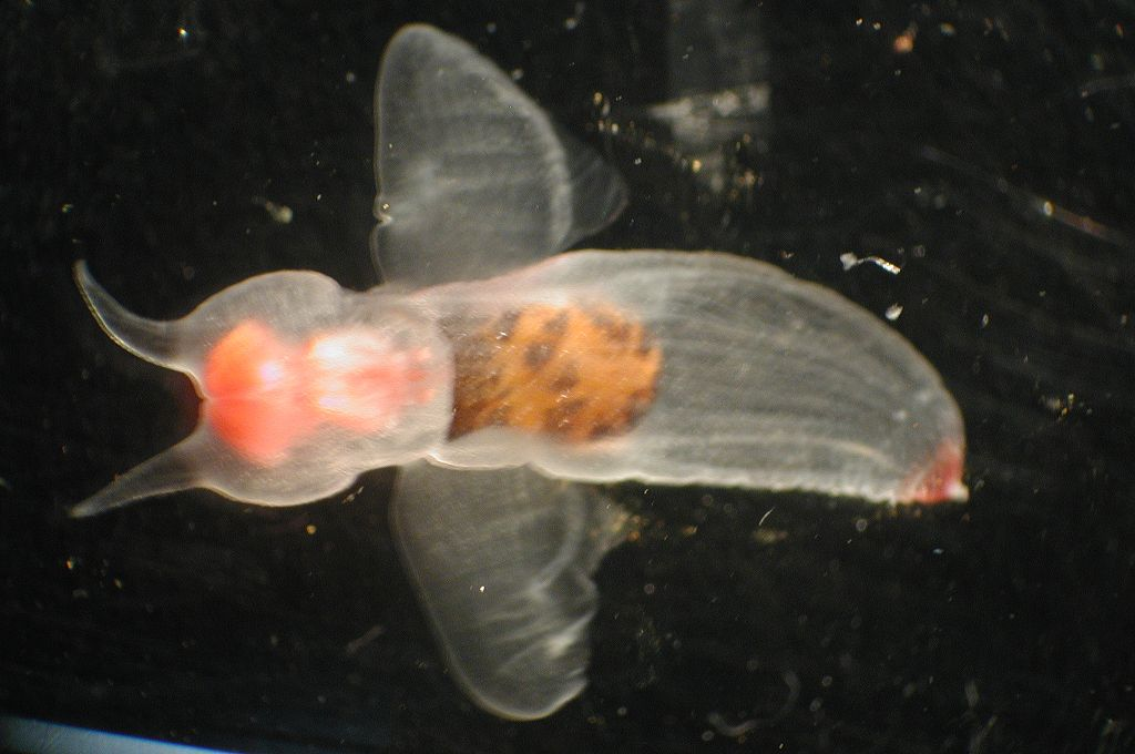 Image of Clione limacina, a shell-less cold water gastropod