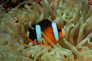 Clownfisch im geschütztem Versteck