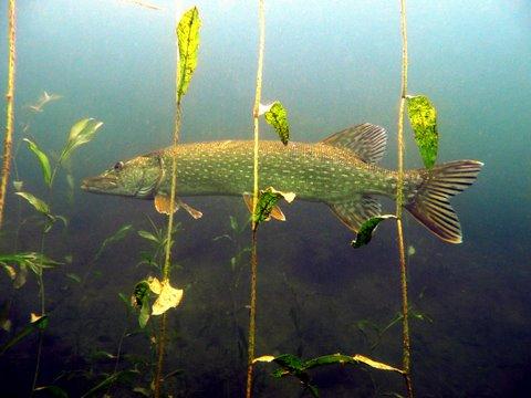 Über 1 Meter Hecht im Baggersee