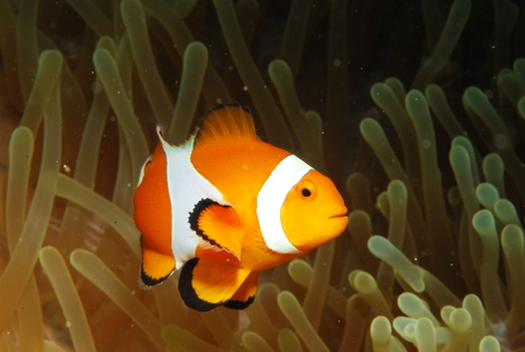 Clownfisch im Versteck