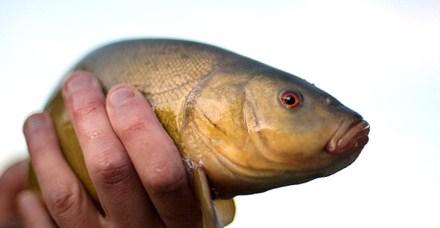 Die Schleie, ein kraftvoller Fisch